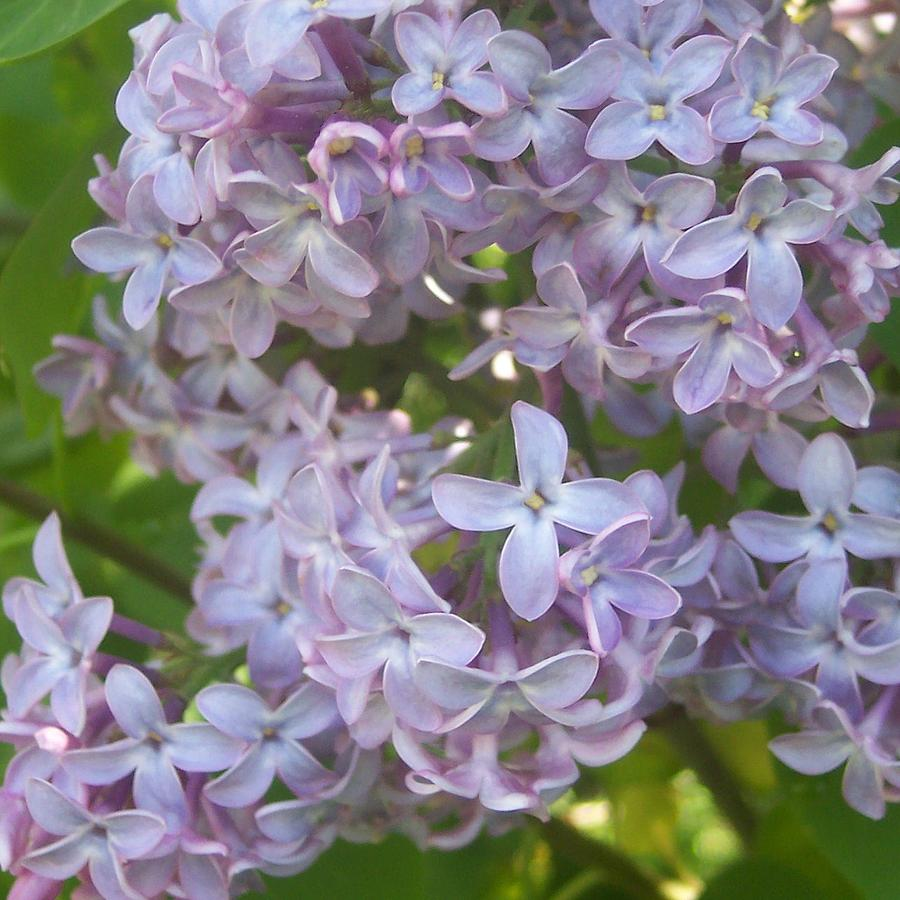 Lavendar Purple Lilacs Flowers Garden Photograph - Lovely Lilacs by Anna Villarreal Garbis