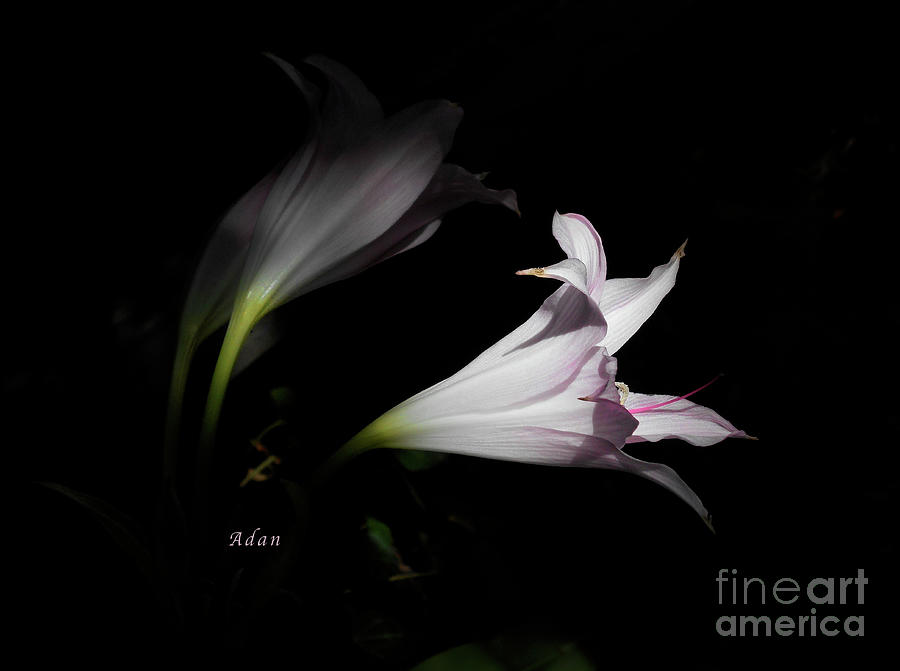 Lilies Photograph - Lovely Lilies Dreams To Light by Felipe Adan Lerma