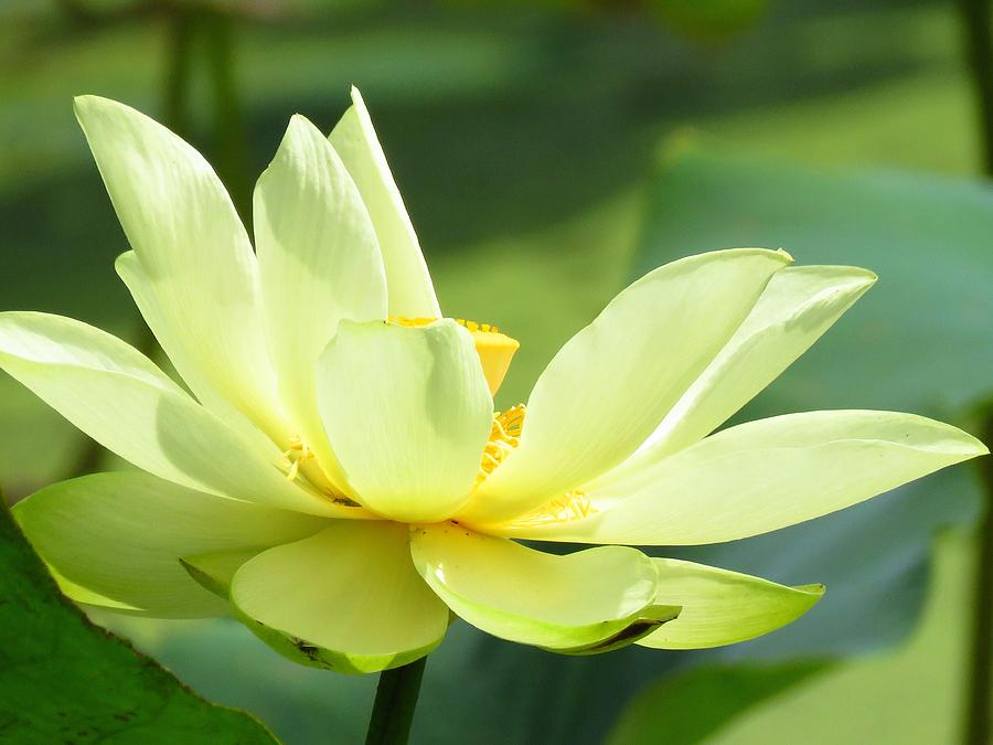 Lotus Photograph - Lovely Lotus by Lori Frisch