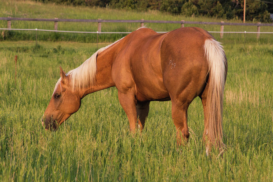 Lovely Palomino Photograph by Alana Thrower