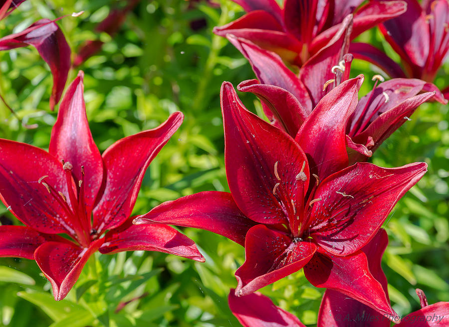 Day Photograph - Lovely Red Lilies by Andrew Miles
