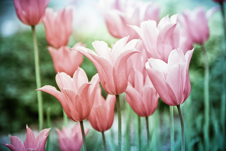Lovely Tulips by Maria Heyens