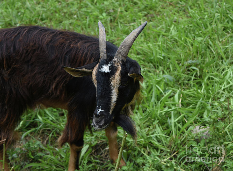 Goat Photograph - Lovely Up Close Look Into The Face Of A Pygmy Goat by DejaVu Designs