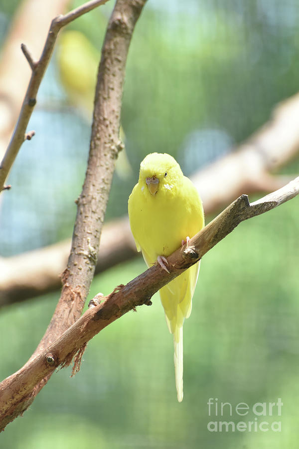 Budgie Photograph - Lovely Yellow Budgie Parakeet In The Wild by DejaVu Designs