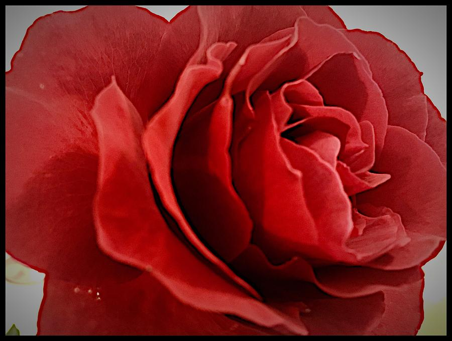 Roses Photograph - Loves Bloom by Daniele Smith