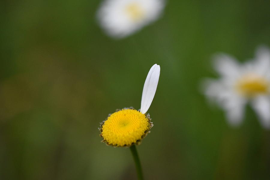 Flower Photograph - Loves Me by Frank OBrien
