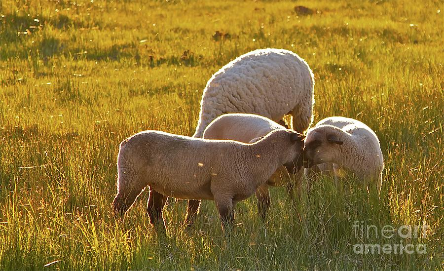 Ranch Photograph - Lovin Lambs by Gus McCrea