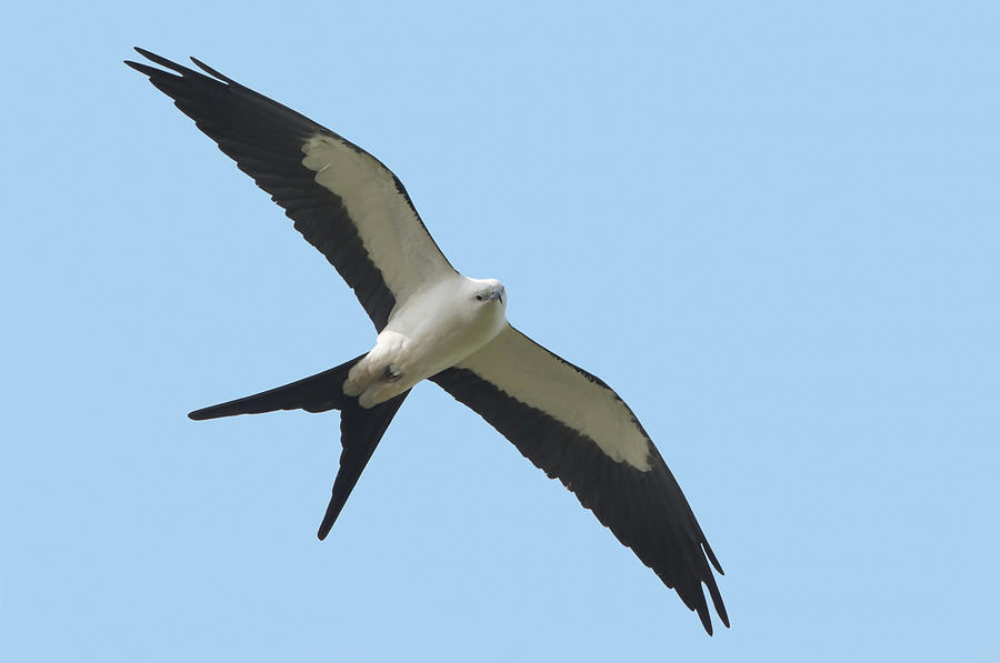 Swallow-tailed Kite Photograph - Low Flying Kite by Jim Gray