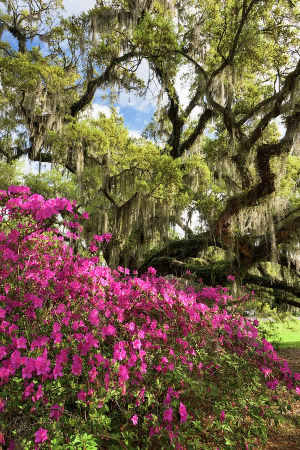 Azalea Photograph - Lowcountry South Carolina Spring Azalea And Live Oak by Mark VanDyke