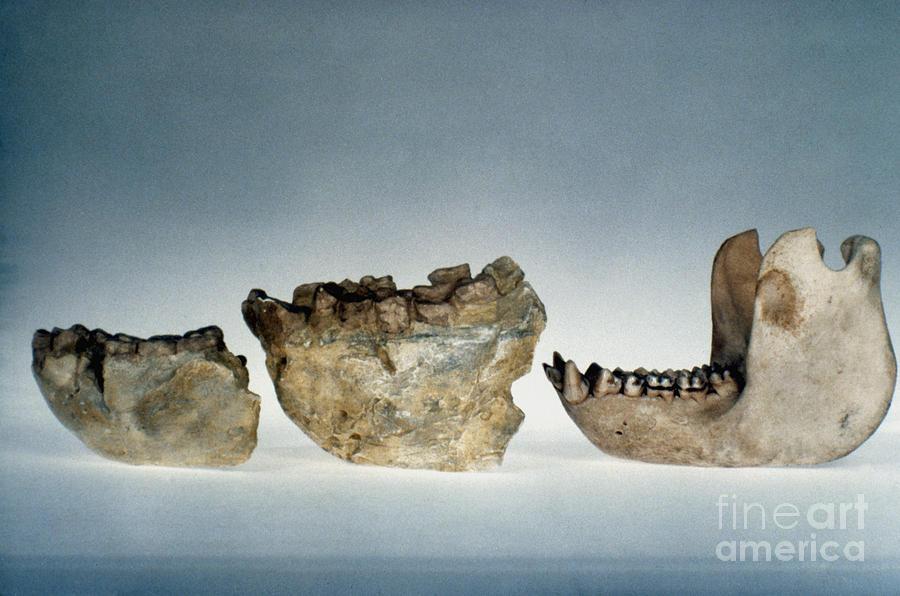 Ape Photograph - Lower Jawbones by Granger