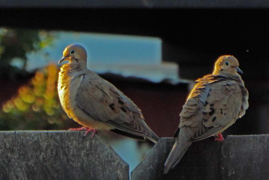 Doves Photograph - Loyalty by KaFra Art