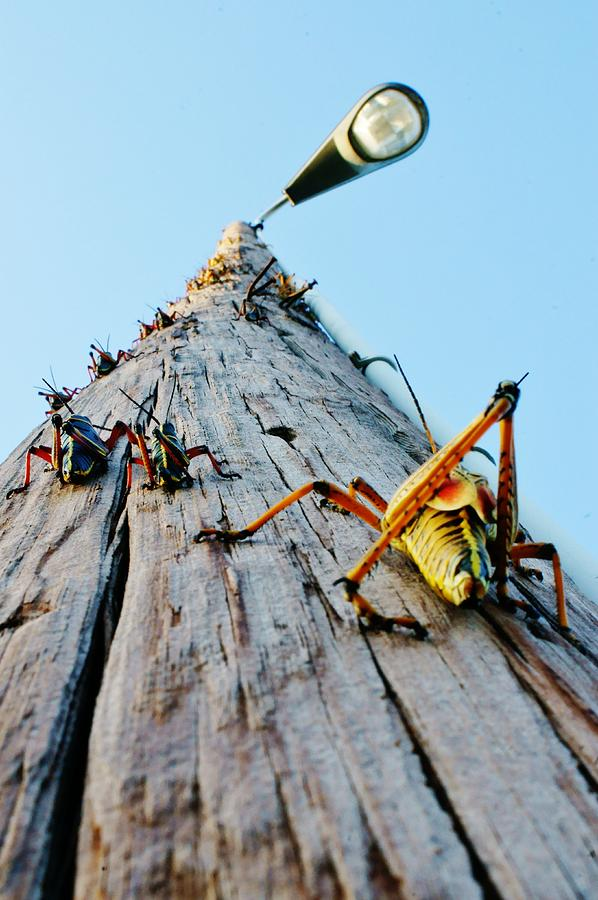 Grasshoppers Photograph - Lubbers Pole by Lynda Dawson-Youngclaus