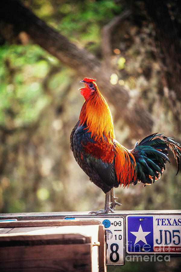 Luckenbach Rooster And A Morning Call Photograph
