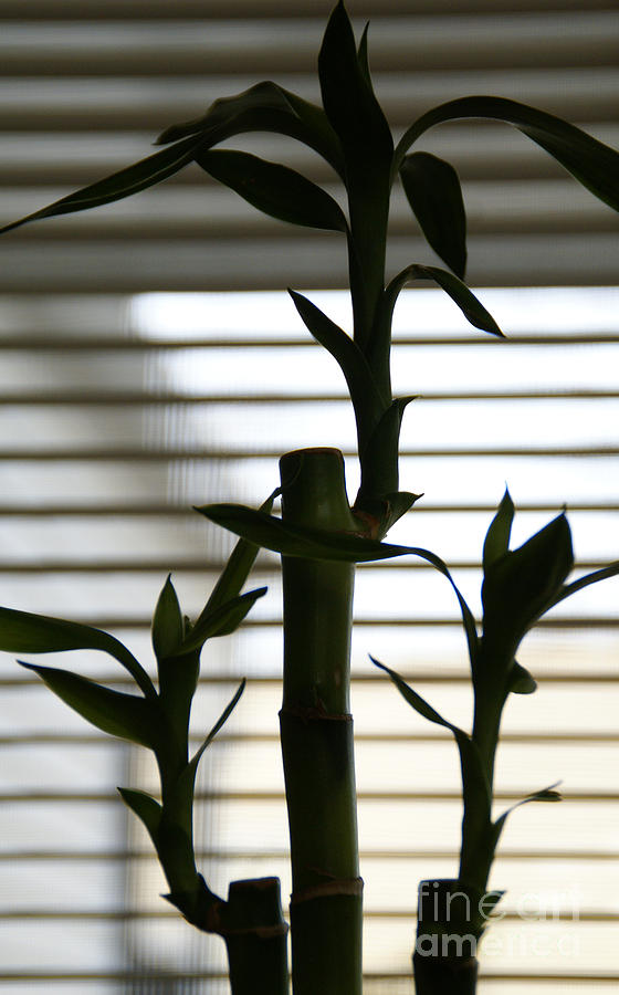 Lucky Bamboo Photograph - Lucky Bamboo by Linda Shafer