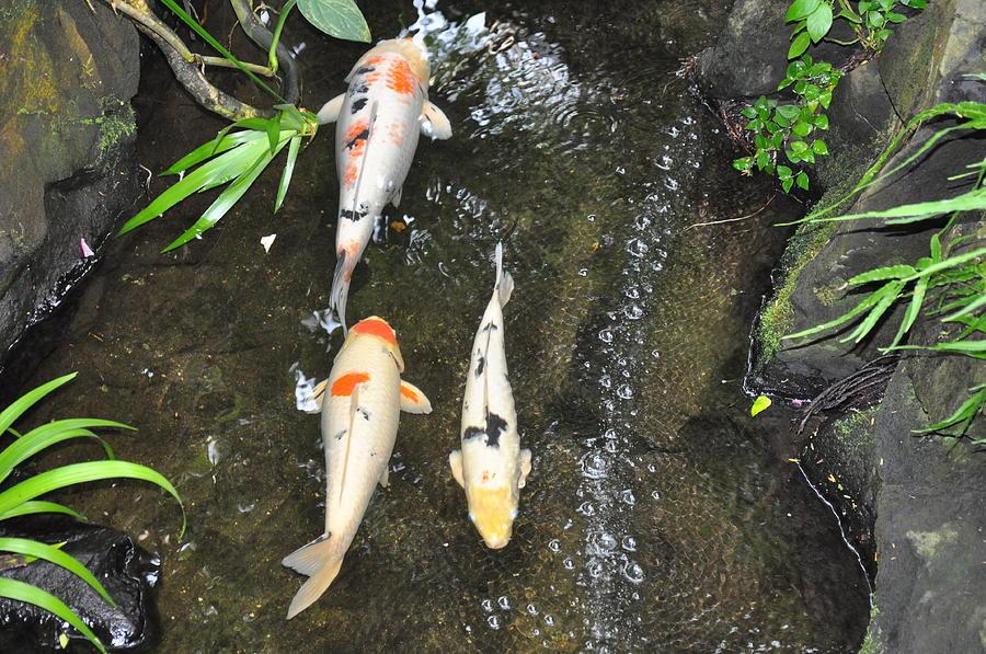 Koi Fish Photograph - Lucky Koi by Caroline Reyes-Loughrey