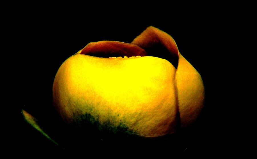 Yellow Lotus Photograph - Luminous Lotus by Angela Davies