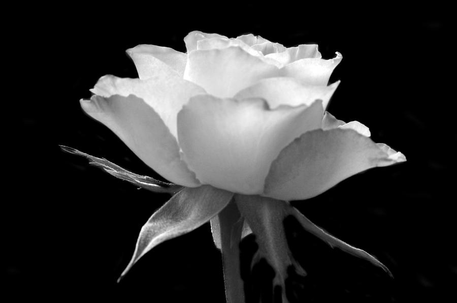 Black And White Photograph - Luminous Rose by Terence Davis