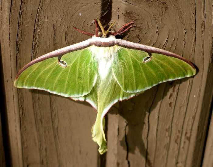 Luna Photograph - Luna Moth Ready To Fly by Bryce Meyer