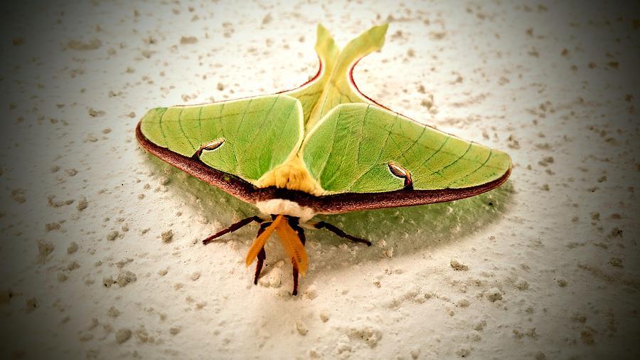 Moth Photograph - Luna Moth by Vincent Autenrieb