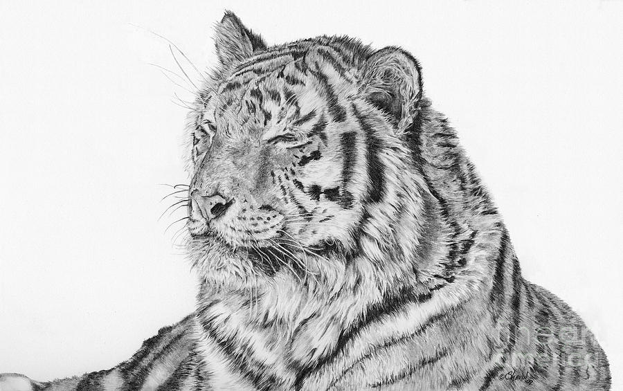 Siberian Tiger Drawing - Luna by Shevin Childers