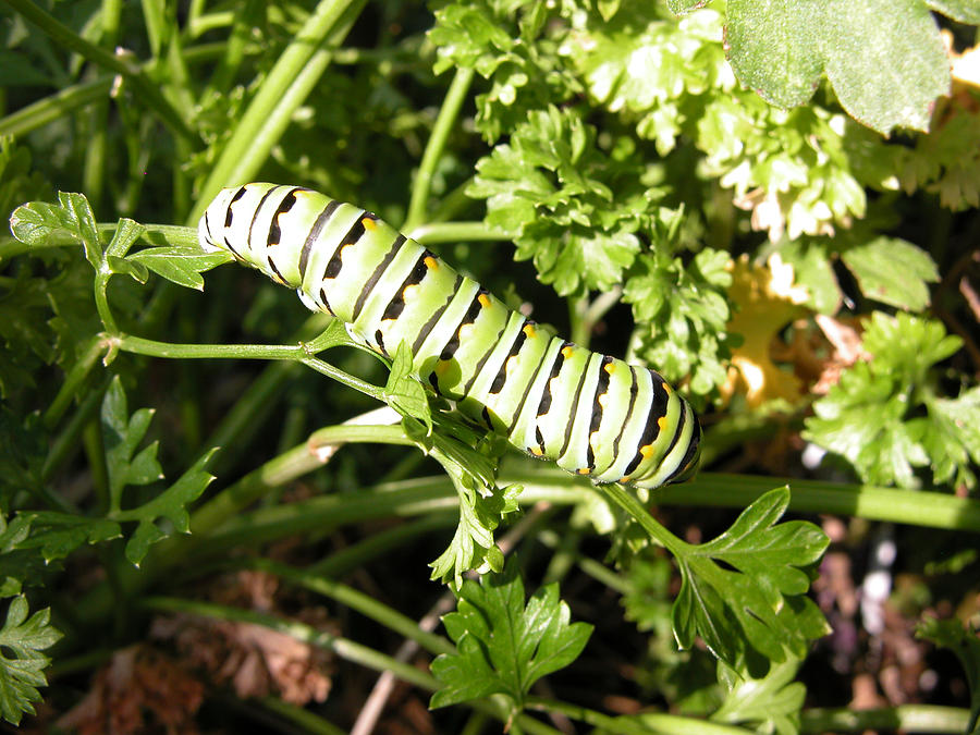 Caterpillar Photograph - Lunch In The Garden by Cindy Clements