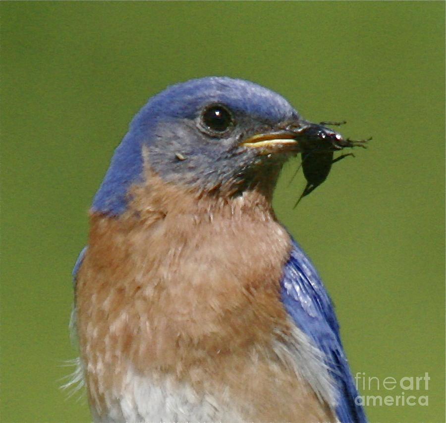 Blue Bird Photograph - Lunch Time Blues by Robert Pearson