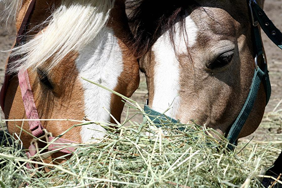Horse Photograph - Lunch Time by Roberta Fisher