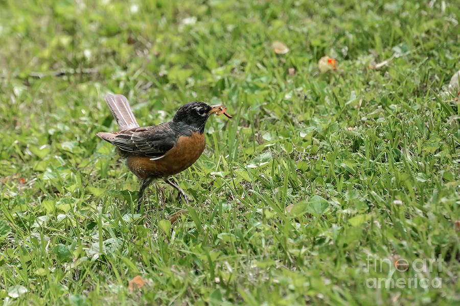 Robins Photograph - Lunch Time by Tammy Hyatt
