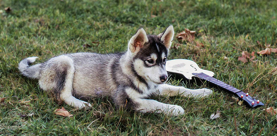 Lupe Photograph - Lupe, The Husky Puppy by Richard Goldman