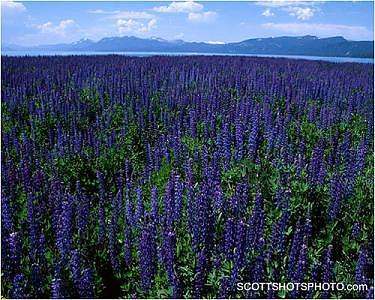 Lupine Photograph - Lupine At Lake Tahoe by Scott Thompson