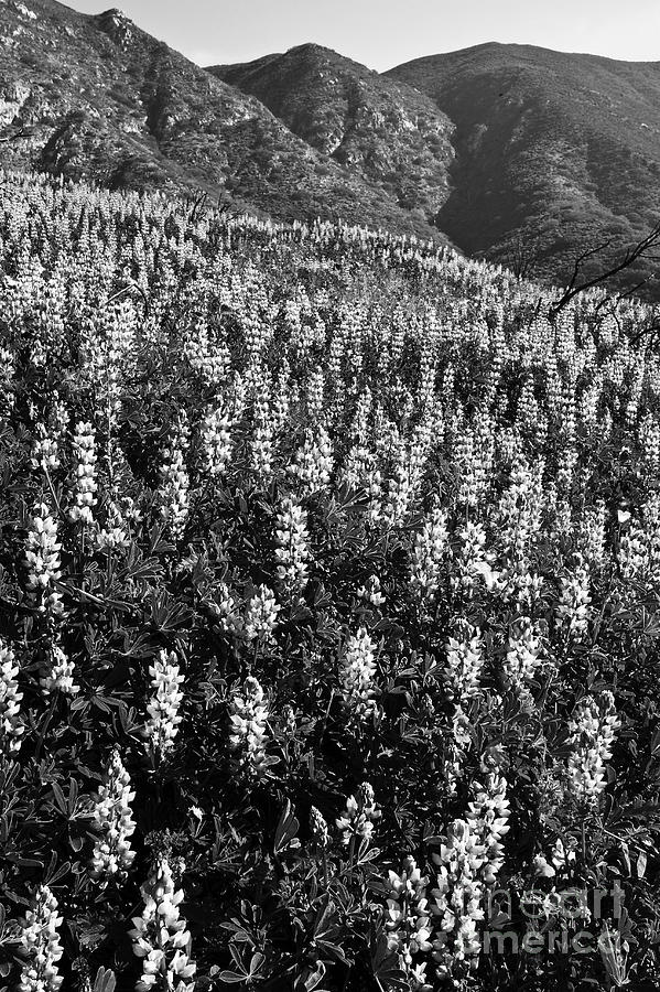 Landscape Photograph - Lupine Hilltop by Greg Clure