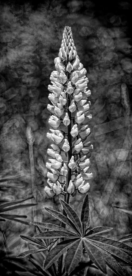 Vermont Photograph - Lupine In Black And White by Stephen Stookey