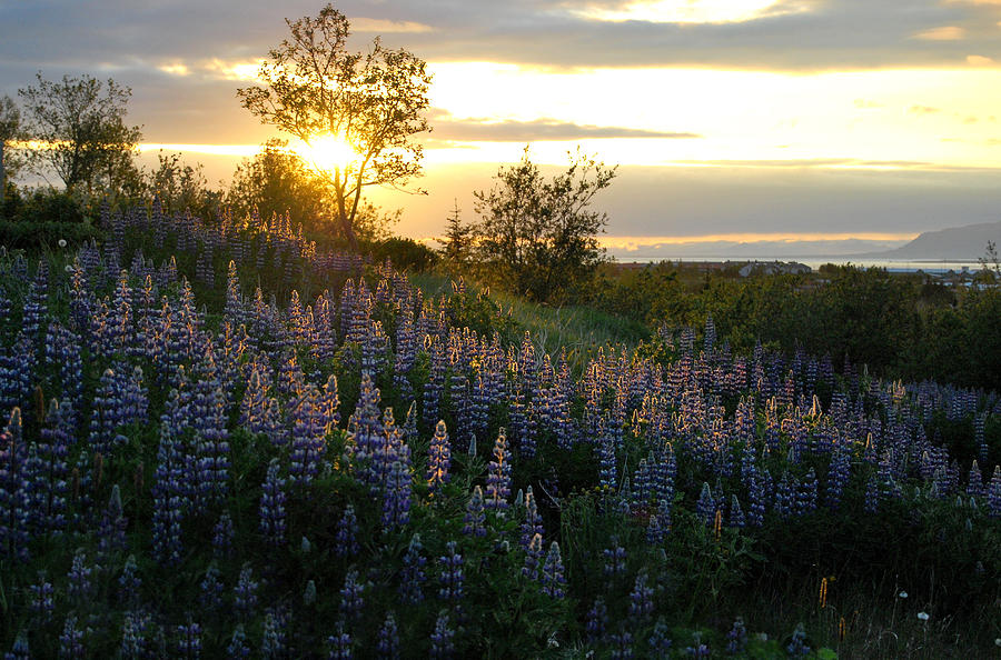 Lupine Photograph - Lupine Sunset by Marilynne Bull