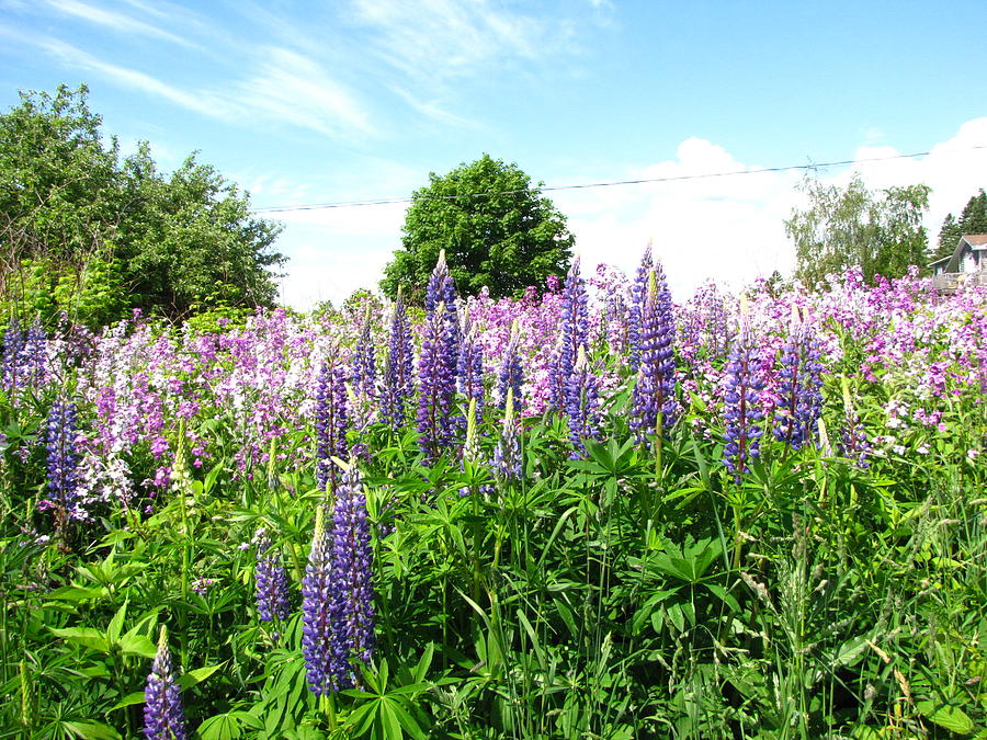 Flowers Photograph - Lupins And Flocks by Melissa Parks