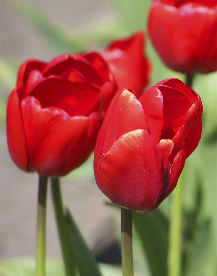 Tulips Photograph - Luscious Tulips  by Mary Gaines