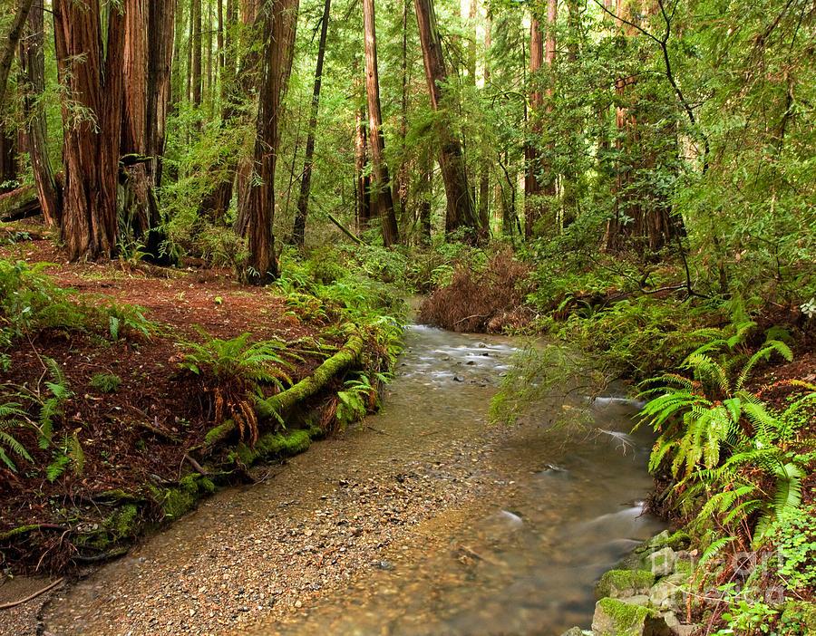 Muir Woods Photograph - Lush Redwood Forest by Matt Tilghman
