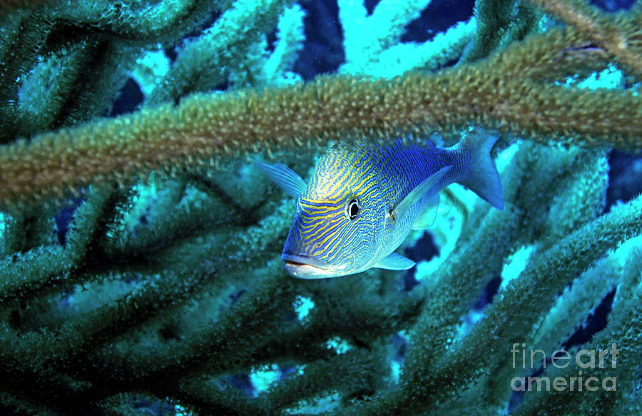 Animal Photograph - Lutjan Seaperch Hiding In Soft Coral by Sami Sarkis