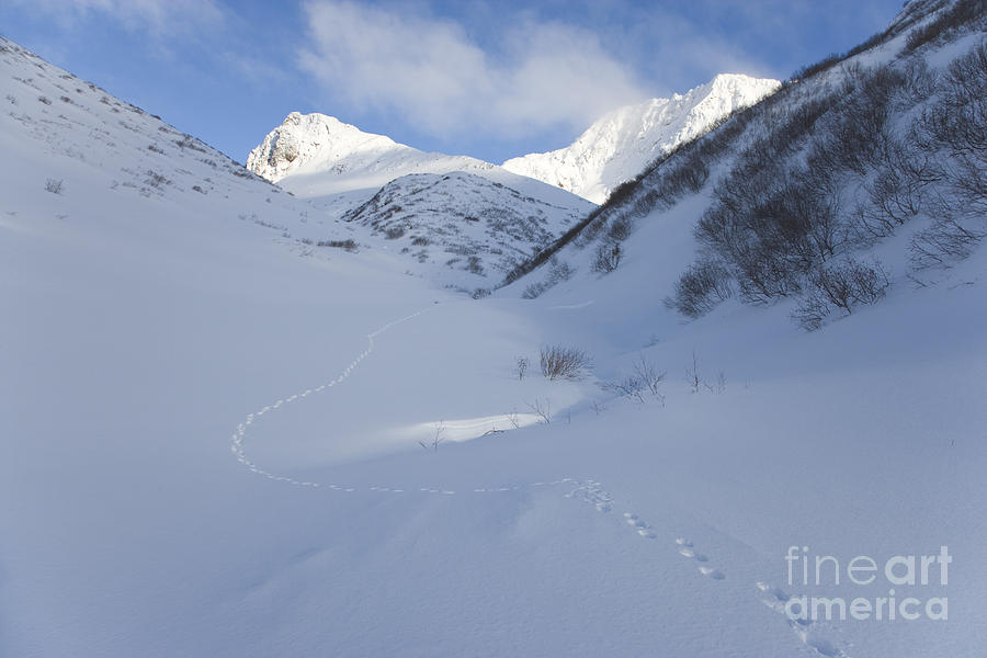 Lynx Photograph - Lynx Tracks In A Mountain Pass by Tim Grams
