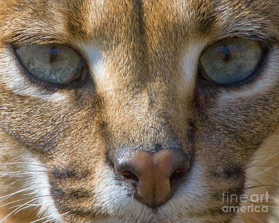 Lynx Photograph - Lynx  by White Stork Gallery