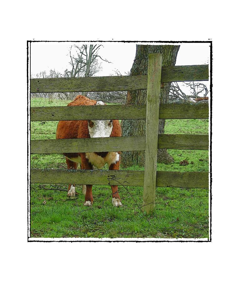 Cow Photograph - LZ by Robert Boyette