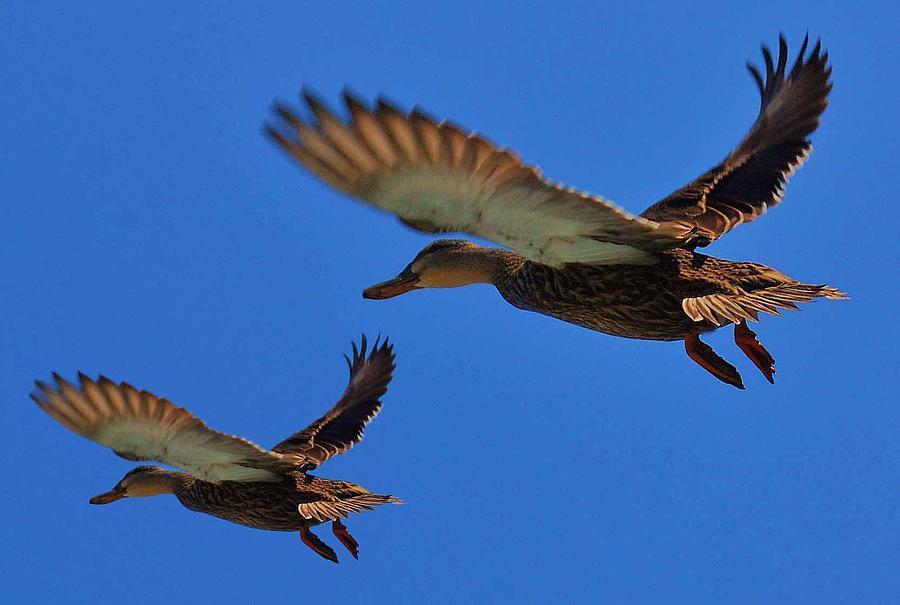 M R Ducks Photograph by Joseph Martin
