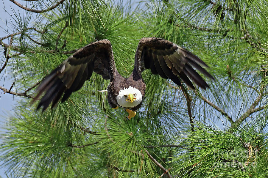 Eagles Photograph - M15 Great Take Off by Liz Grindstaff