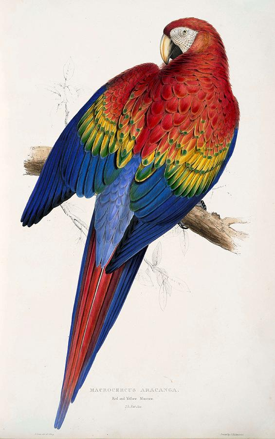 Background Painting - Macaw By_edward_lear by Edward Lear