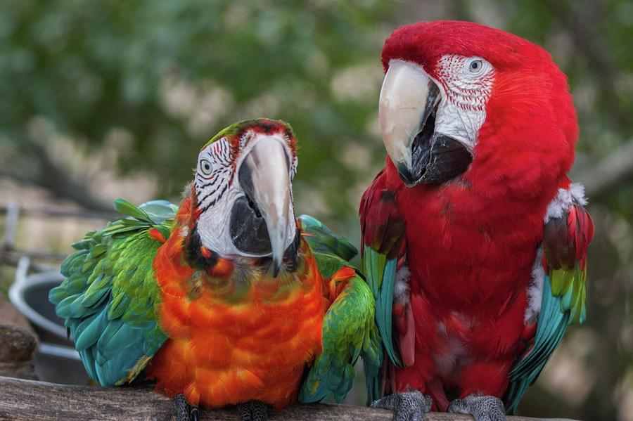 Macaw Couple Photograph