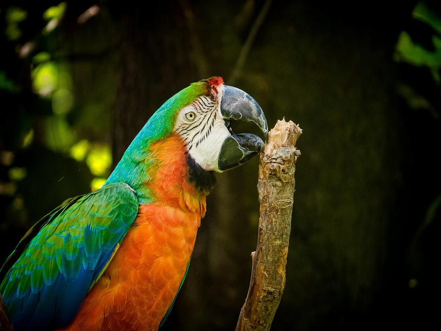 Macaw Photograph - Macaw by Devina Browning