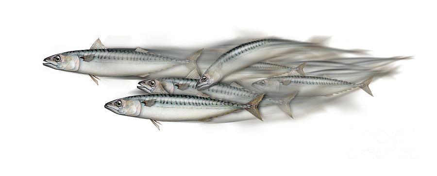 Mackerel School Of Fish - Scomber - Nautical Art - Seafood Art - Marine Art -game Fish Painting