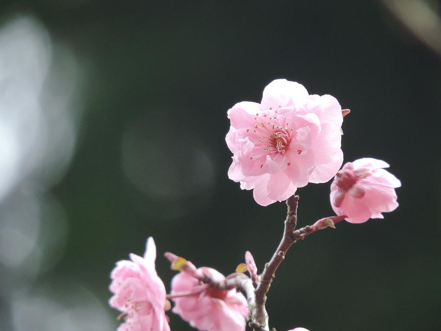 Cherry Blossoms Photograph - Macro Cherry Blossoms by Alora Peterson