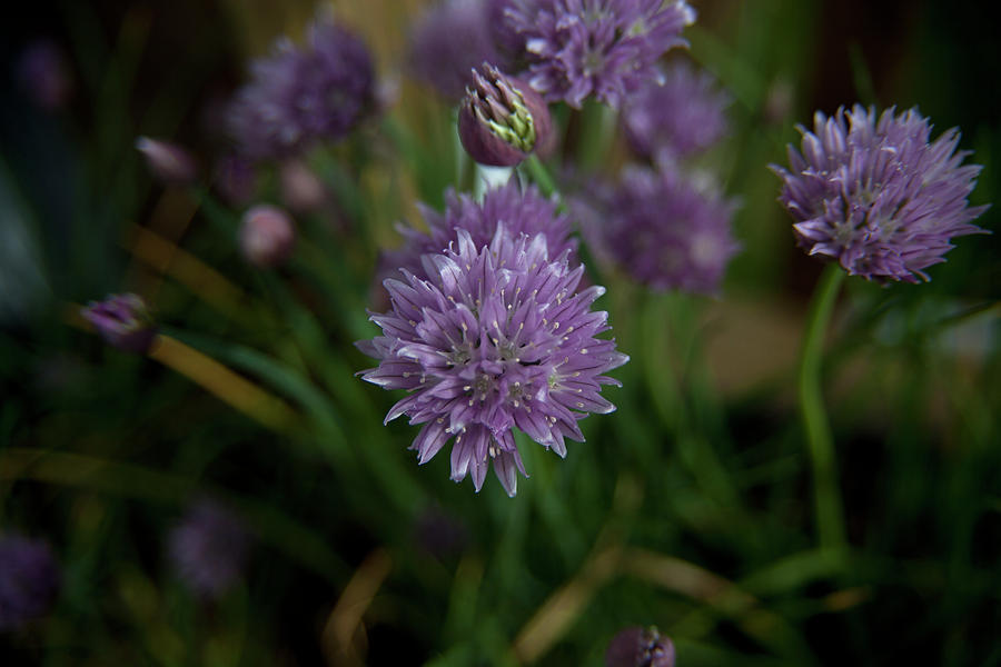 Flowers Photograph - Macro Chives by Forrest N Camellia