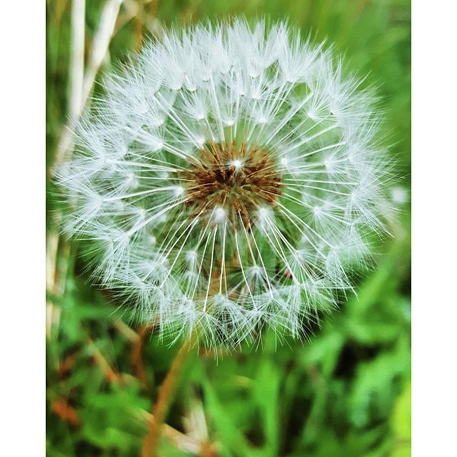 Walks Photograph - #macro #dandelion #dandelionclock by Natalie Anne