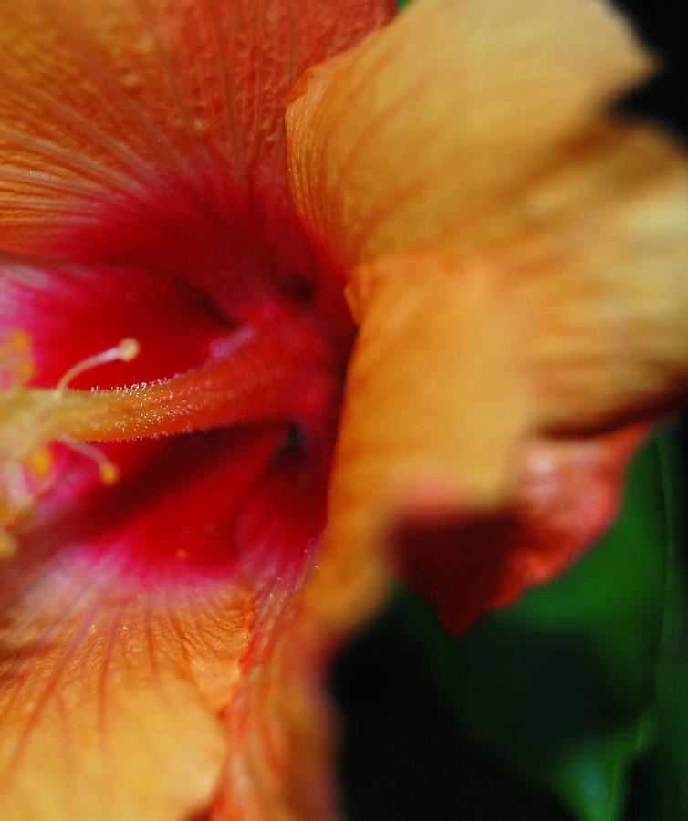 Floral Photograph - Macro Hibiscus by Jean Booth